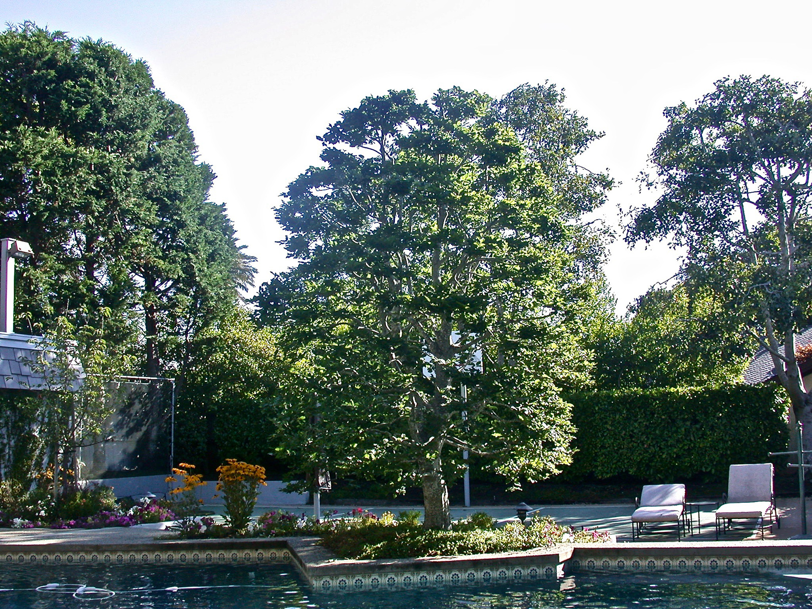 Beech Tree Next to a Pool