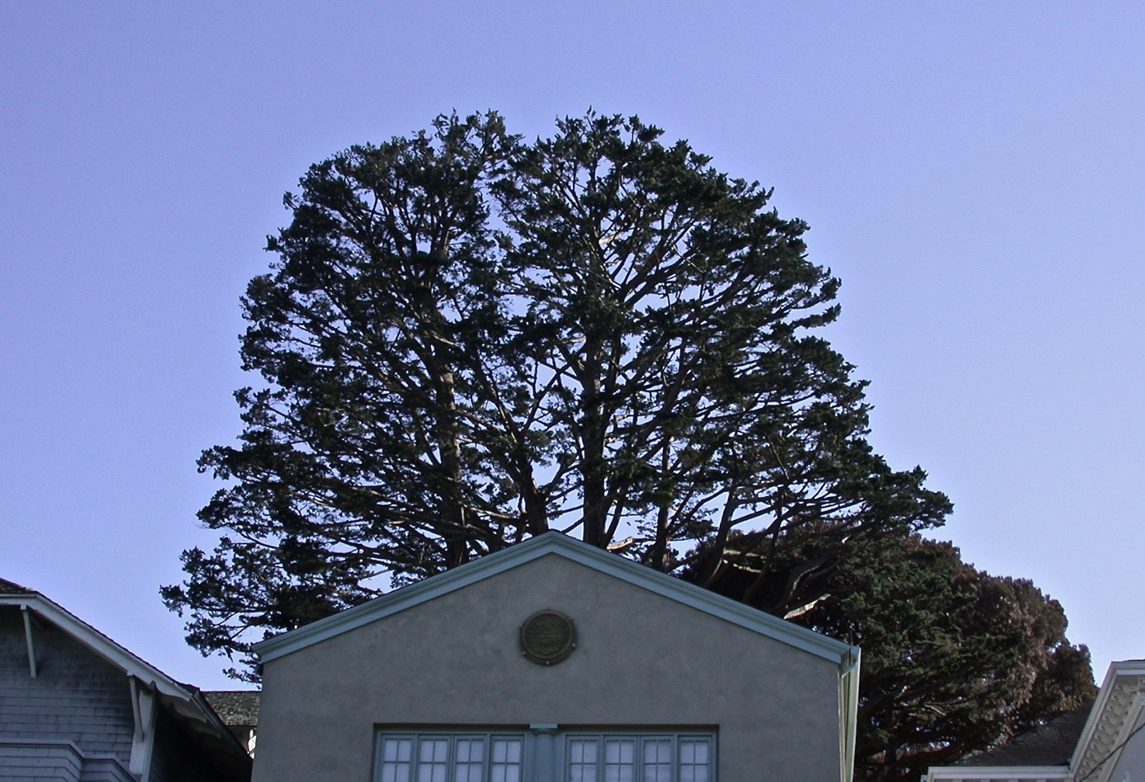 Monterey Cypress: After Crown and Density Reduction