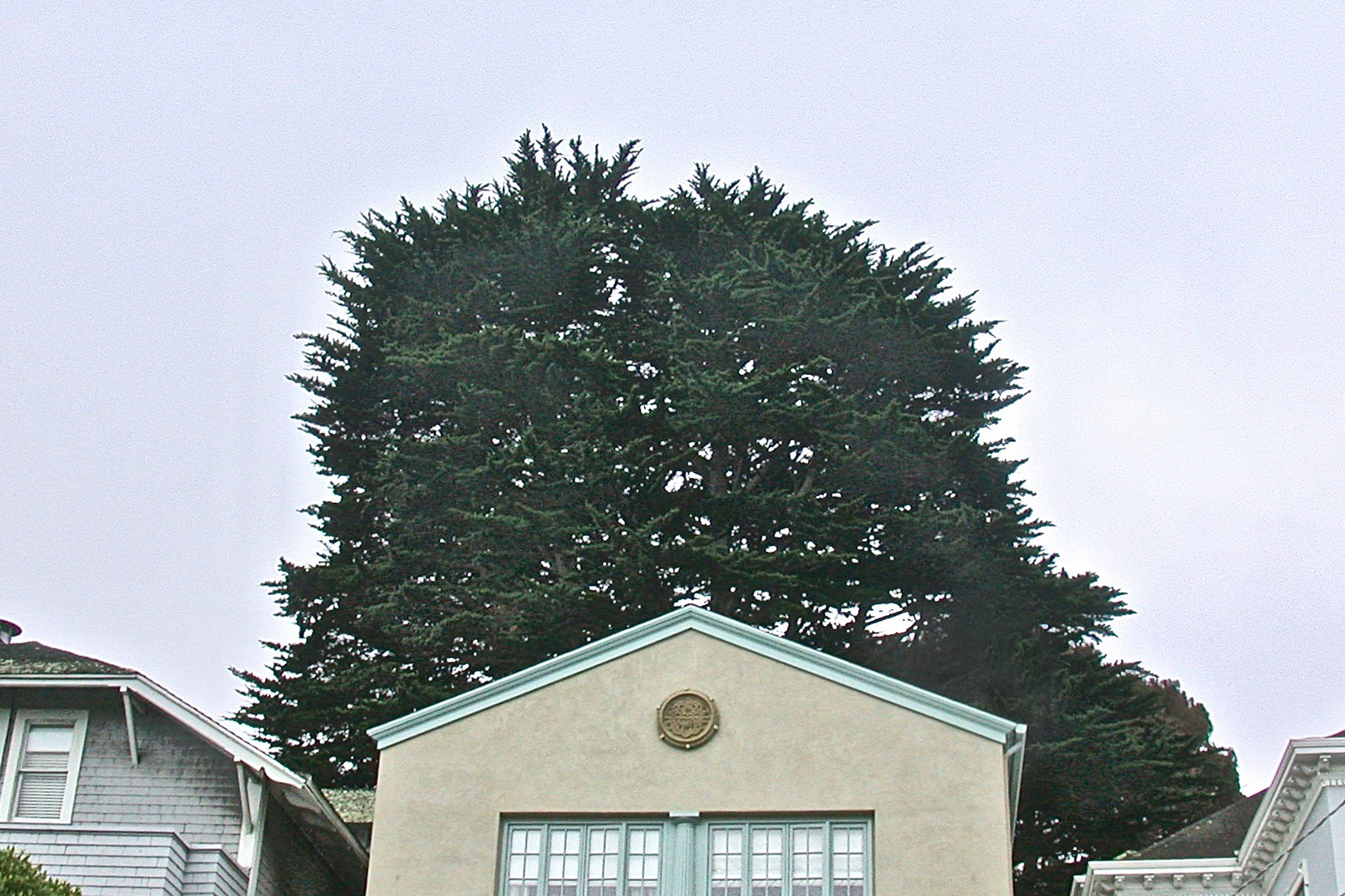 Monterey Cypress: Before Crown and Density Reduction