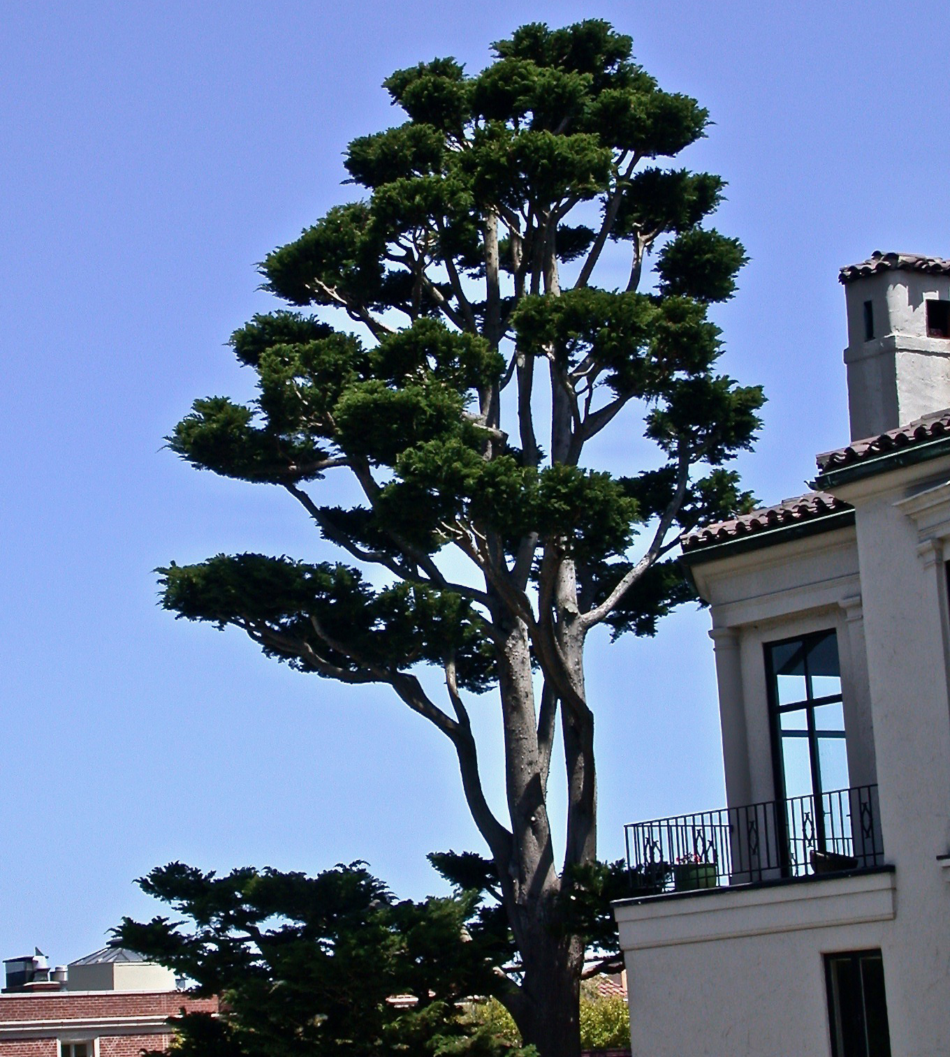 Monterey Cypress: Cloud Pruning (Niwaki)