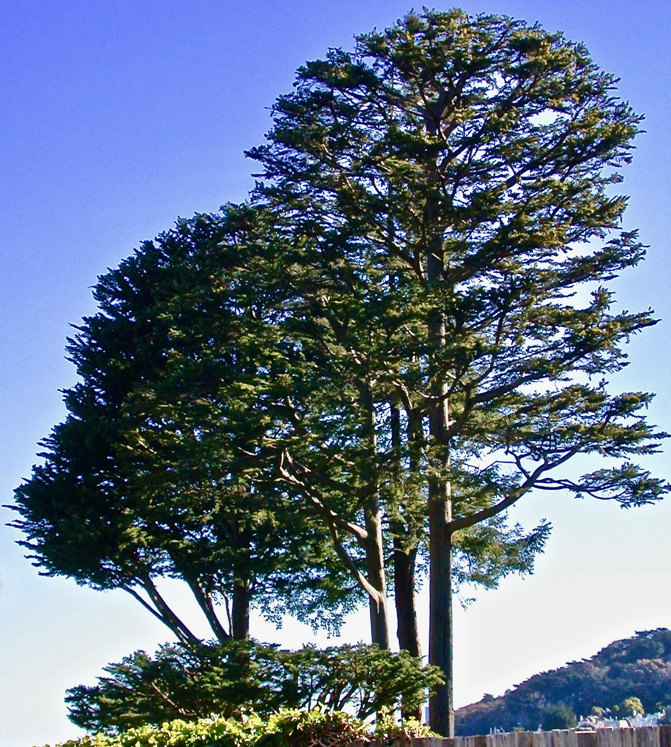 Cypress: Crown Shaping and Density Reduction:
