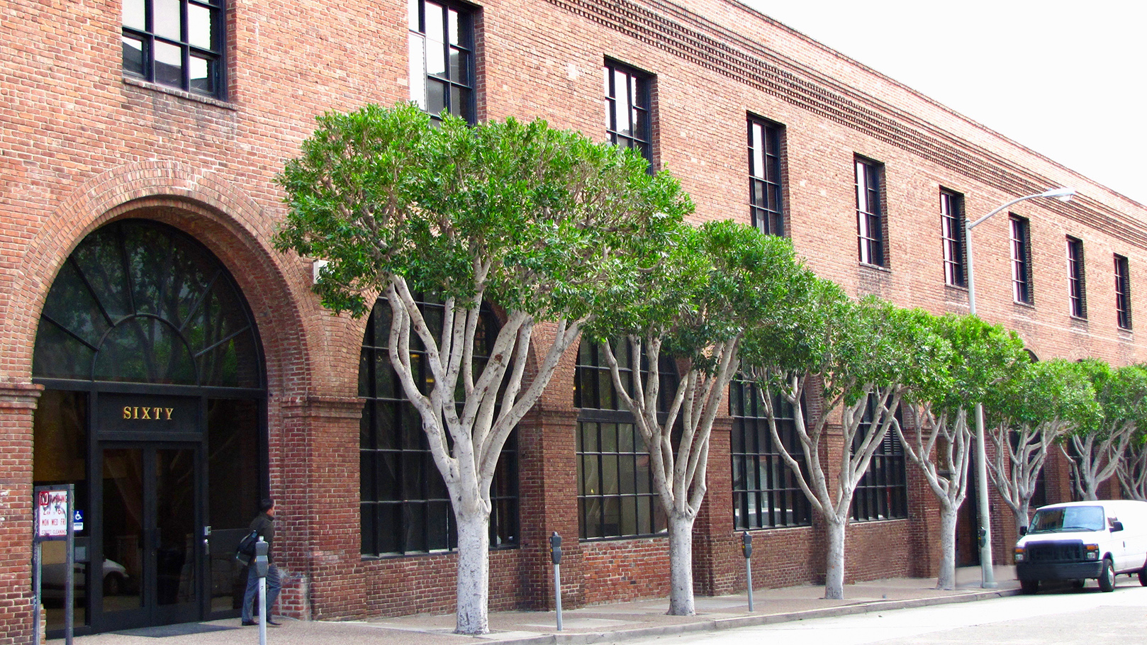 Pruned Ficus Trees on the Street