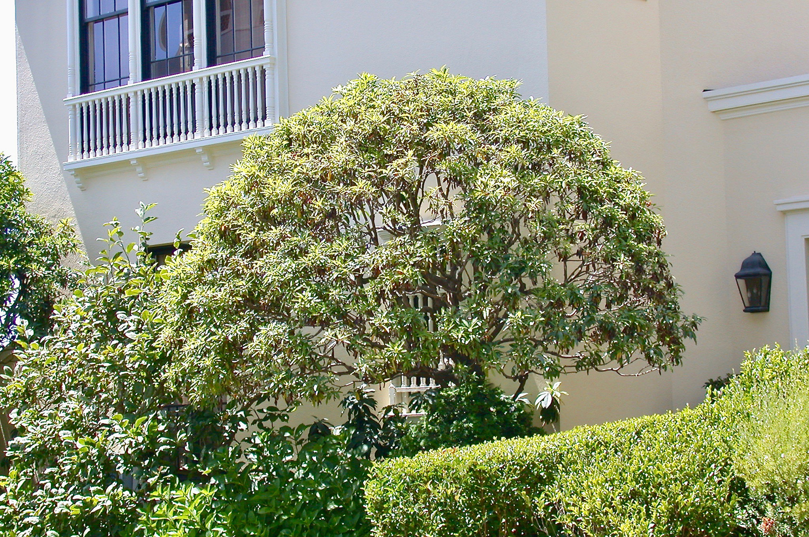 Pittosporum: Crown Shaping and Thinning: